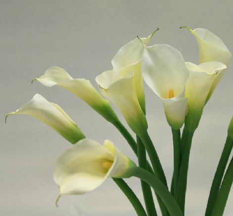 Bulk wholesale calla lilies las vegas nevada 35 white tall calla lilies 360 per stem 90cm view images mightylinksfo