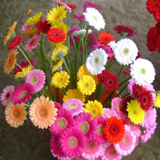 bulk wholesale flowers gerbera