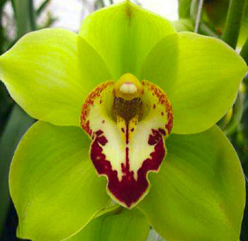 Orchids Wholesale Las Vegas