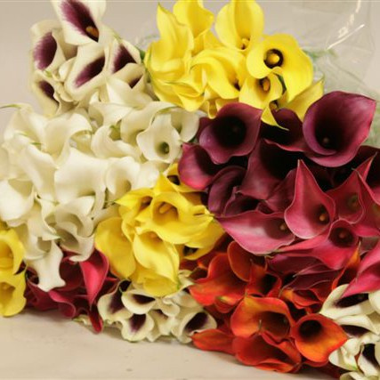 bulk wholesale mini calla lilies