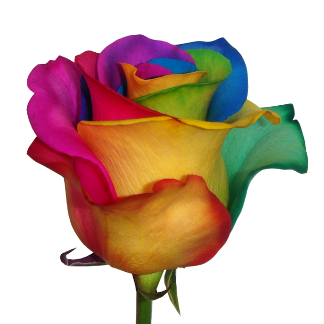 Roses las vegas wholesale florist las vegas same day for Where can i buy rainbow roses