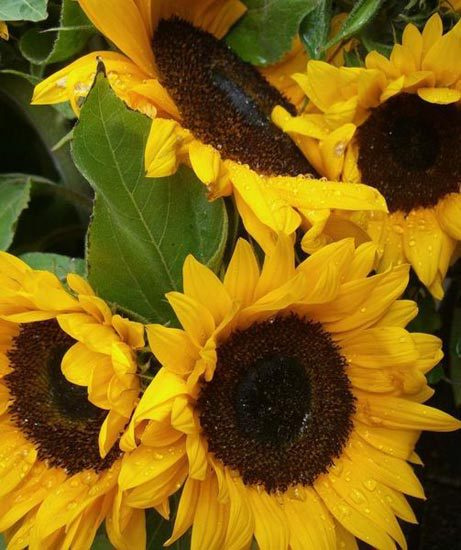 bulk wholesale sunflowers