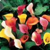Grower Color Choice mini calla lilies 40 stems ($2.85 per stem)
