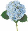 20 stems Hydrangea Blue ( medium )