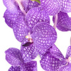 Vanda Orchids 12 stems