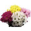 Daisy Pom  ($5.98 per bunch) (choose your color)