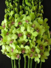 Green Dendrobium Orchids ( $2.40 per stem)