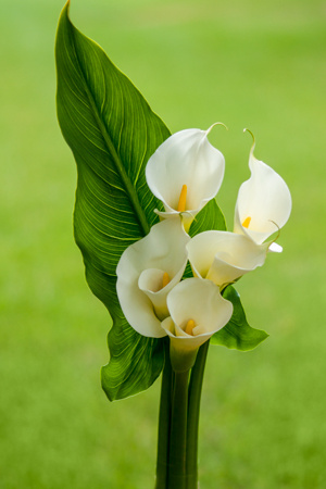 8 Calla Lily Bouquets (each with 5 stems and one leave)