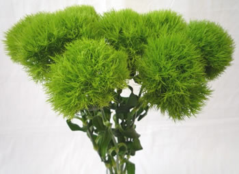 100 stems Dianthus Green Ball ($1.29 per stem)