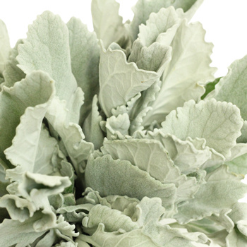 Dusty Miller ($17.20 per bunch)