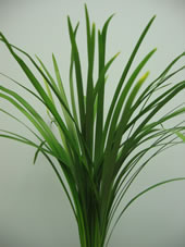 (7 Bunches) Lily Grass Green 50cm (4.95 per bunch)