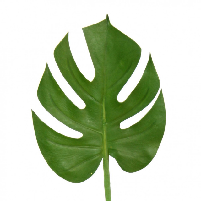 50 MONSTERA Leaves SMALL ($3.30 EACH)