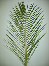 100 stems Palm Phoenix Roebelinii ($0.89 each)