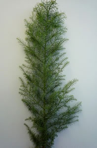 150 stems Pine Colombian ($0.69 per stem) (SOLD OUT)
