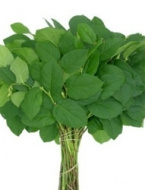 Salal Lemon Leaf (5 bunches) ($8.50 per bunch)