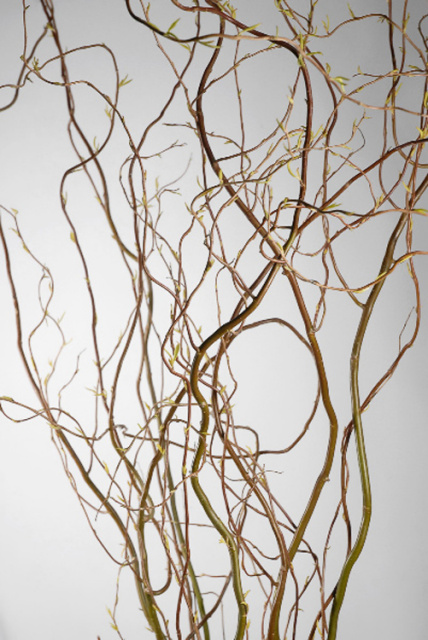 CURLY WILLOW 4Ft (5 bunches)
