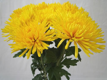 150 Yellow Spider Mums ($1.39 each)