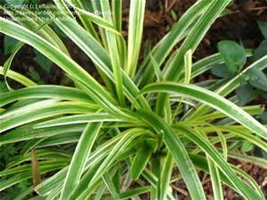 (7 Bunches) Lily Grass Variegated 50cm ($4.95 each)