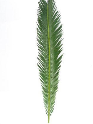 Sago Palm (10 stems in a bunch) $5.95 ( SOLD OUT )