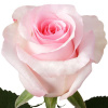 "150 ""NENA"" Light Pink Roses ($2.65 each)"